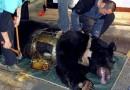 Cruel tortura de osos en China