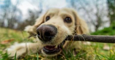 perros-jugar-palos-peligros-390x205