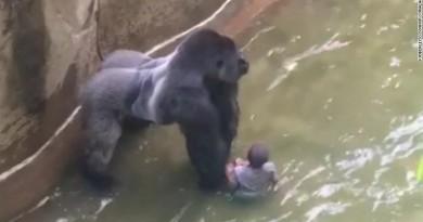 ¿Estaba el gorila protegiendo al niño que cayó en el Zoológico de Cincinnati? (Video)