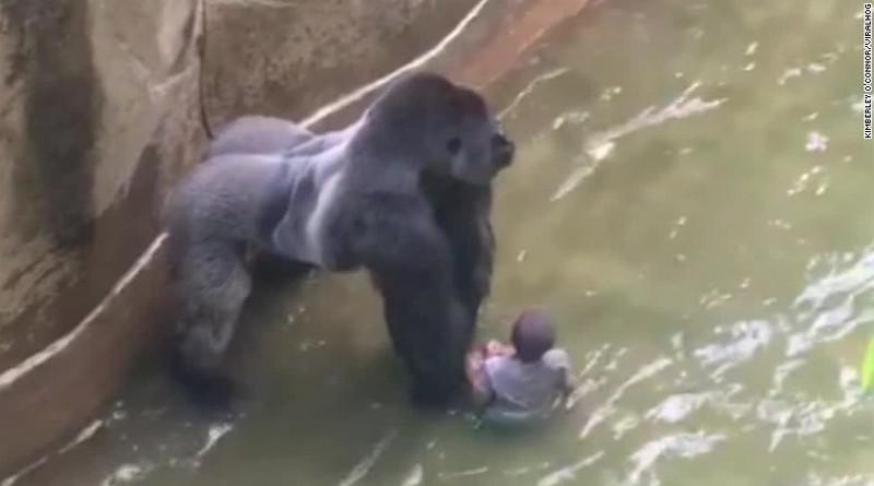 Gorila_sacrificado800x445