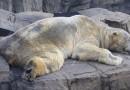 Murió Arturo, el oso más triste del mundo