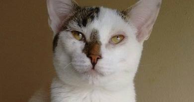 """""""Güere"""" gatito rescatado en adopción"""