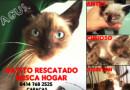 #Adopta Gatico Agust busca hogar