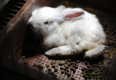 Victoria histórica para los conejos de Europa