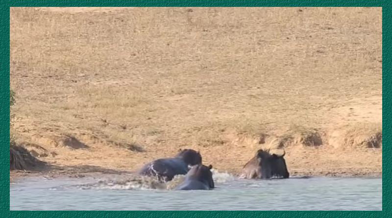 Video: Dos hipopótamos le salvan la vida a un animal