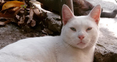 #Adopta Cotton, lindo gato, busca hogar