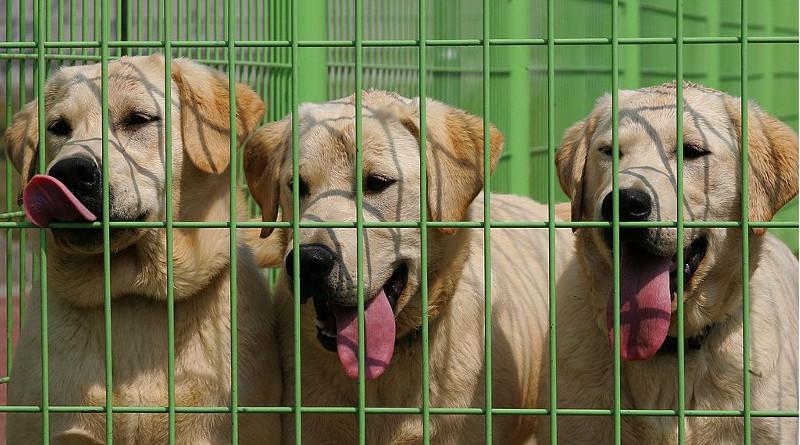 California: el primer estado en prohibir los criaderos de perros