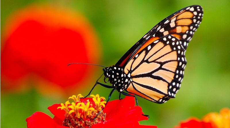 Mariposas Monarcas vuelven a México