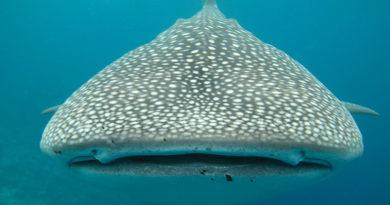 Tiburones ballena: Conozca las causas de su extraño comportamiento