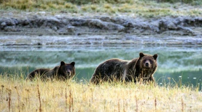 EEUU: Juez prohíbe la cacería de osos grizzly