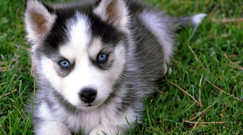 Descubre por qué los huskies siberianos tienen los ojos azules