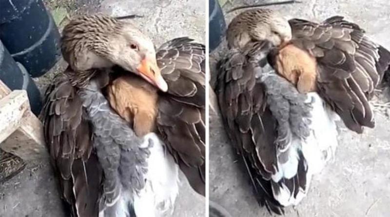 Pato arropa con sus alas a un perrito abandonado y lo salva de morir de frío