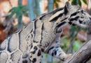 Leopardo Nublado reaparece después de 30 años